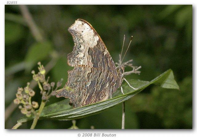 http://butterfliesofamerica.com/polygonia_progne_live1.htm