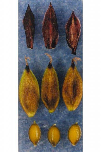 http://plants.usda.gov/gallery/large/caat8_002_lvp.jpg