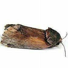 http://mothphotographersgroup.msstate.edu/species.php?hodges=8010