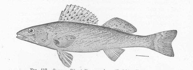 http://content.lib.washington.edu/cgi-bin/getimage.exe?CISOROOT=/fishimages&CISOPTR=51948&DMWIDTH=10000&DMHEIGHT=10000