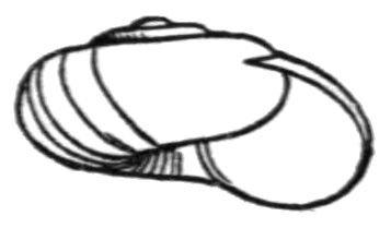 http://commons.wikimedia.org/wiki/File:Nesovitrea_binneyana_shell.jpg