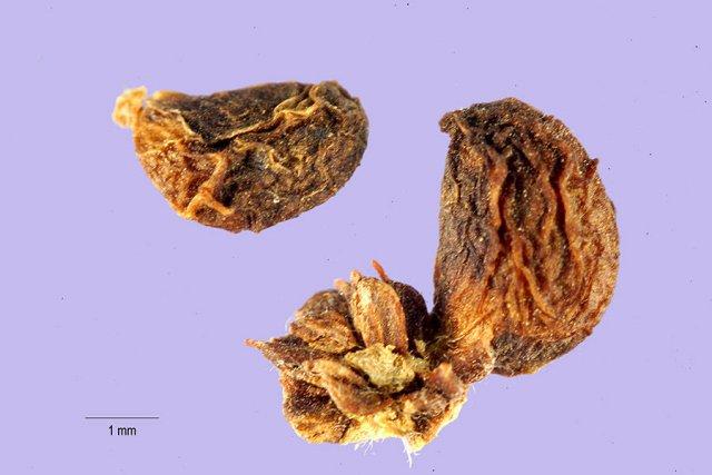 http://plants.usda.gov/gallery/large/ruma_001_lhp.jpg