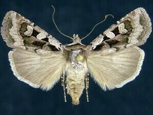 http://mothphotographersgroup.msstate.edu/species.php?hodges=10852