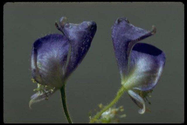 http://calphotos.berkeley.edu/imgs/512x768/8076_3101/2933/0108.jpeg