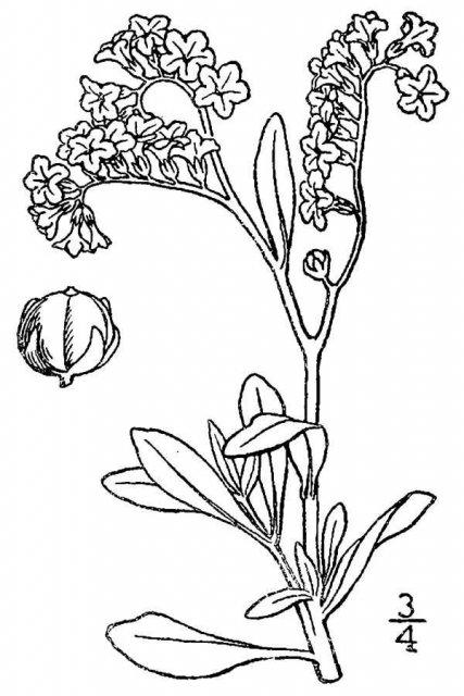 http://plants.usda.gov/java/largeImage?imageID=hesp2_001_avd.tif