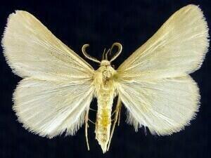 http://mothphotographersgroup.msstate.edu/species.php?hodges=8337