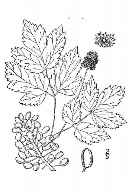 http://plants.usda.gov/java/largeImage?imageID=acru2_001_avd.tif