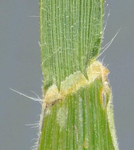http://www.bioimages.org.uk/vfg/MWSt/NikonD100+T90/2005/05-06/05-06-10/05F10D_I.jpg