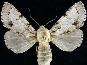 http://mothphotographersgroup.msstate.edu/species.php?hodges=9206