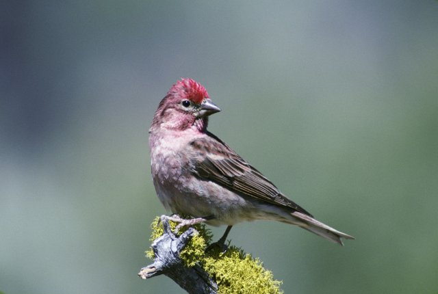 http://commons.wikimedia.org/wiki/File:Carpodacus_cassinii1.jpg