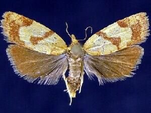 http://mothphotographersgroup.msstate.edu/species.php?hodges=3713