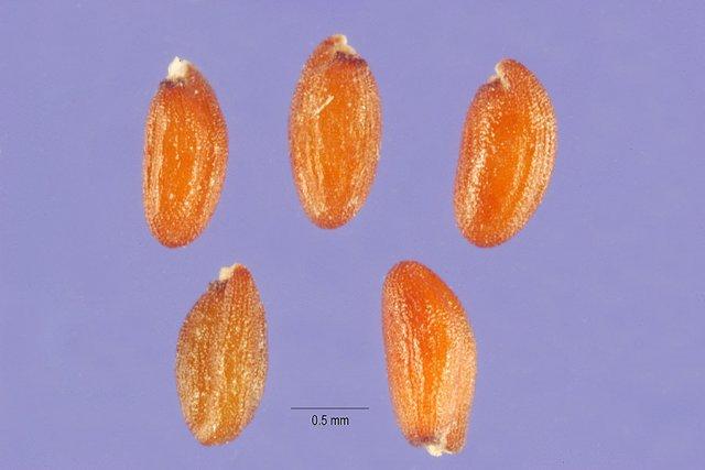 http://plants.usda.gov/java/largeImage?imageID=deri2_001_ahp.tif