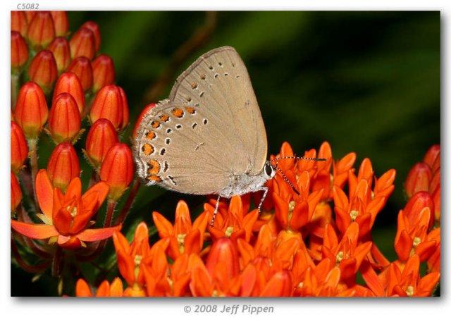 http://butterfliesofamerica.com/images/Theclinae/eumaeini/Satyrium_t_titus/Satyrium_t_titus_F_Person_Co_NC_13-VI-06_2.jpg