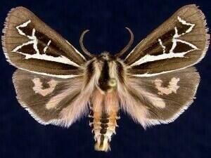 http://mothphotographersgroup.msstate.edu/species.php?hodges=8186