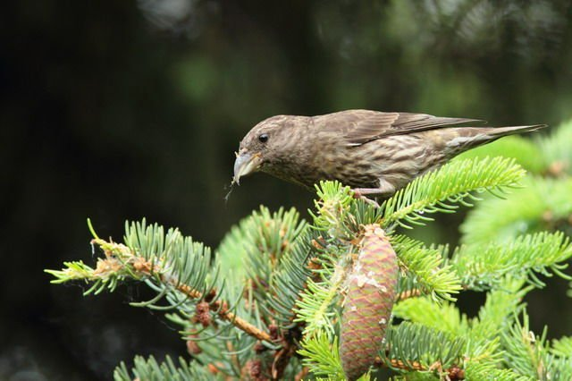 http://csdb.ioz.ac.cn/images/Upload_images/Animalia/Chordata/Aves/Passeriformes/Fringillidae/Loxia/curvirostra/A01A30A1-330A-48A6-8CD8-0B7CE0E35B58.jpg
