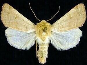 http://mothphotographersgroup.msstate.edu/species.php?hodges=10889