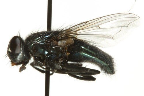 http://www.boldsystems.org/views/taxbrowser.php?taxon=Protophormia+terraenovae