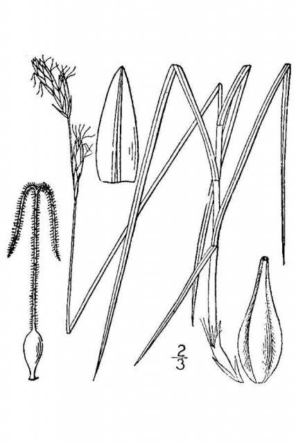 http://plants.usda.gov/java/largeImage?imageID=capr7_001_avd.tif