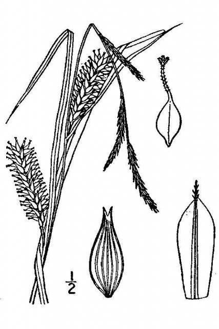 http://plants.usda.gov/java/largeImage?imageID=cala16_001_avd.tif