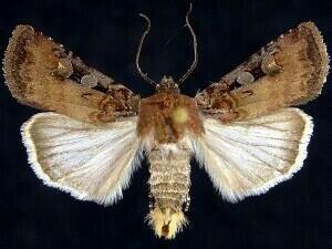 http://mothphotographersgroup.msstate.edu/species.php?hodges=10807