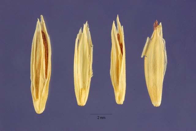 http://plants.usda.gov/gallery/large/pogl_003_lhp.jpg