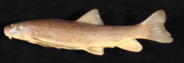 http://mczbase.mcz.harvard.edu/specimen_images/fish/large/57101_C-catostomus.jpg