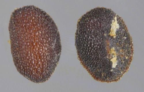 http://www.bioimages.org.uk/vfg/MWSt/NikonD100+OW-R/2003/03-09/03-09-12/03I12C_4.jpg
