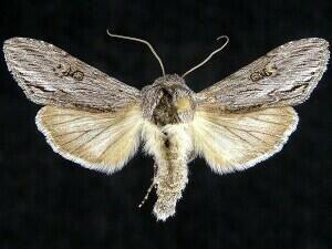 http://mothphotographersgroup.msstate.edu/species.php?hodges=10206