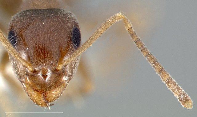 http://www.antweb.org/description.do?genus=lasius&name=crypticus&rank=species