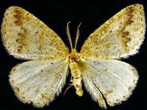 http://mothphotographersgroup.msstate.edu/species.php?hodges=6690