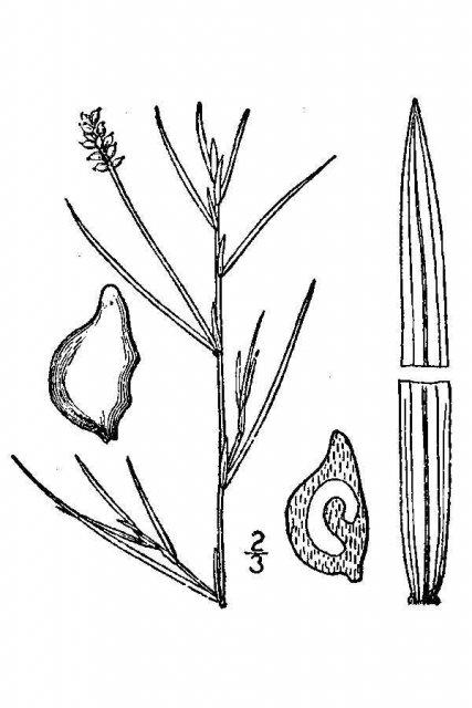 http://plants.usda.gov/java/largeImage?imageID=poru11_001_avd.tif