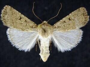 http://mothphotographersgroup.msstate.edu/species.php?hodges=10765