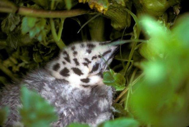 http://animaldiversity.ummz.umich.edu/site/resources/usfws/glaucouswingedgullnestling.jpg/medium.jpg