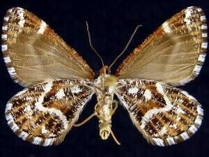 http://mothphotographersgroup.msstate.edu/species.php?hodges=7363