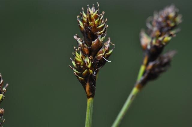 http://www.biopix.com/hares-foot-sedge-carex-lachenalii_photo-94616.aspx