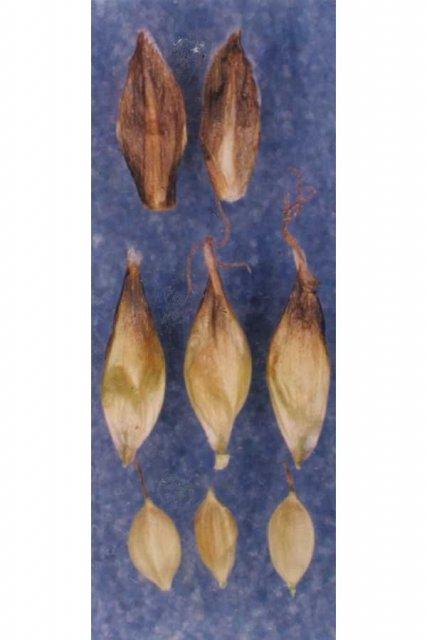 http://plants.usda.gov/gallery/large/capy3_002_lvp.jpg
