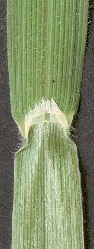 http://www.bioimages.org.uk/vfg/MWSt/BW9630SP/2001/01-06/01-06-09/01F09N_9.jpg