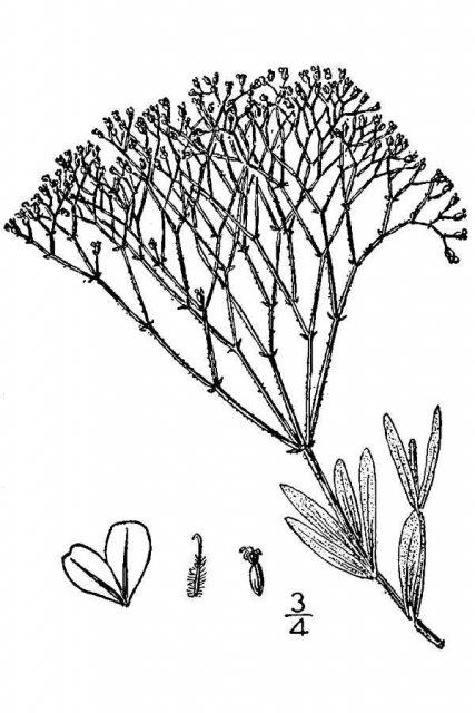http://plants.usda.gov/java/largeImage?imageID=eref_001_avd.tif