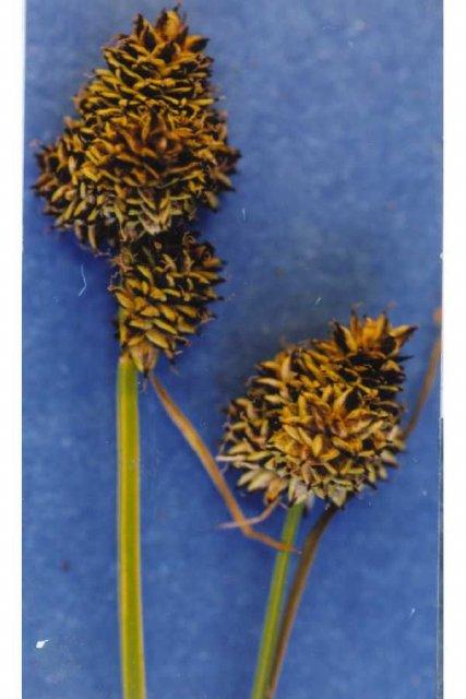 http://plants.usda.gov/gallery/large/cano3_001_lvp.jpg