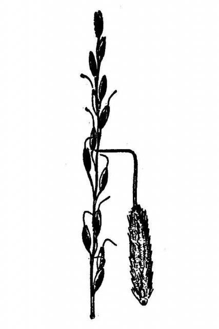 http://plants.usda.gov/java/largeImage?imageID=orex_001_avd.tif