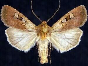 http://mothphotographersgroup.msstate.edu/species.php?hodges=10798