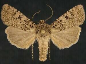 http://mothphotographersgroup.msstate.edu/species.php?hodges=10742