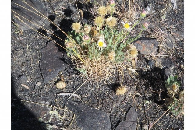 http://plants.usda.gov/gallery/large/erla14_001_lhp.jpg