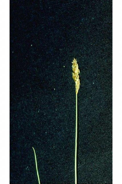 http://plants.usda.gov/gallery/large/cado2_002_lvp.jpg