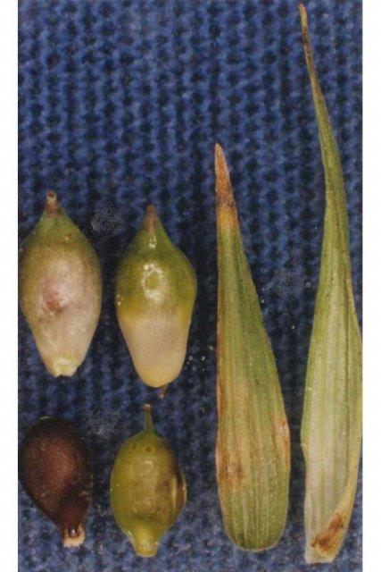 http://plants.usda.gov/gallery/large/caba3_002_lvp.jpg