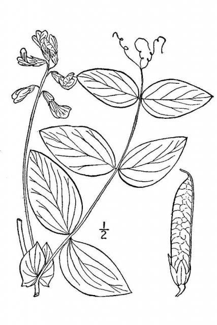 http://plants.usda.gov/java/largeImage?imageID=laoc2_001_avd.tif
