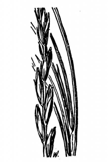 http://plants.usda.gov/java/largeImage?imageID=elsa_001_avd.tif