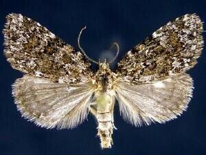 http://mothphotographersgroup.msstate.edu/species.php?hodges=9292