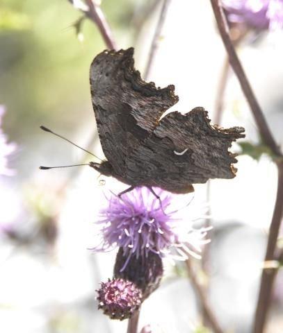 http://animaldiversity.ummz.umich.edu/site/resources/phil_myers/lepidoptera/Nymphalidae_O-P/Polygonia_gracilis0007.jpg/medium.jpg