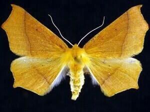 http://mothphotographersgroup.msstate.edu/species.php?hodges=6956